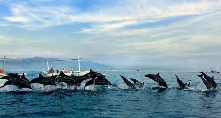 Dolphin lovina